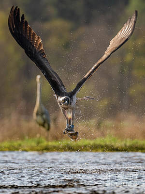 Photograph - Osprey by Keith Thorburn LRPS