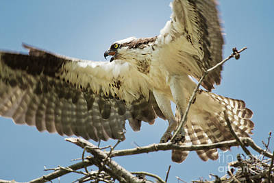 Photograph - Osprey Landing II by Karen Jorstad