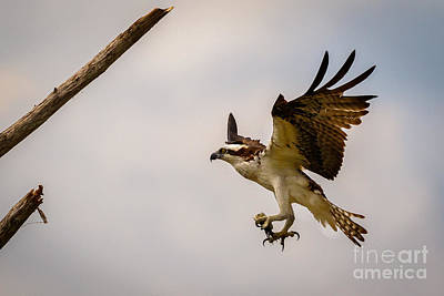 Photograph - Osprey Landing by Les Greenwood