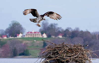 Photograph - Osprey Landing Mount Vernon by Buddy Scott