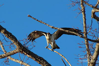 Photograph - Osprey Landing  by Neal Eslinger