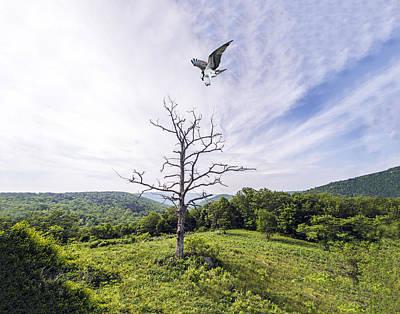 Photograph - Osprey Landing On Dead Tree by William Bitman