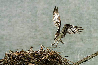 Photograph - Osprey Landing On Her Nest by Dan Friend