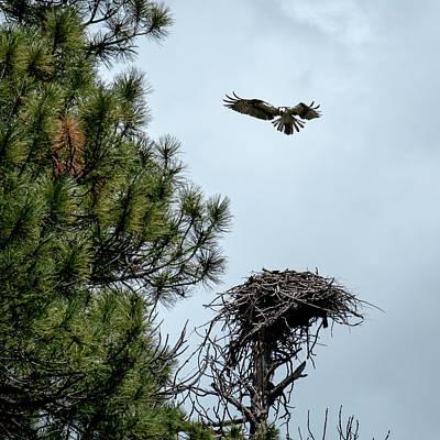 Photograph - Osprey Landing On Nest by Mary Lee Dereske