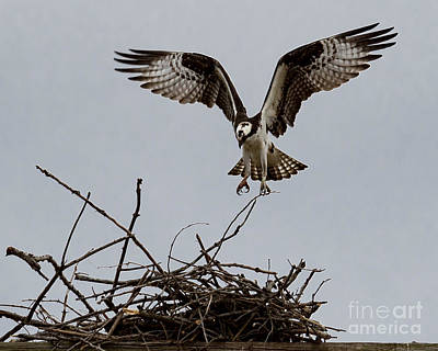 Photograph - Osprey Landing by Phil Spitze