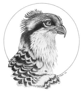 Osprey Drawing - Osprey by Lawrence Tripoli