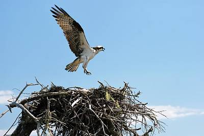 Photograph - Osprey by Lois Lepisto