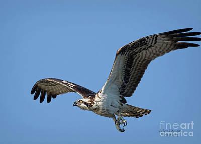 Photograph - Osprey Look by Deborah Benoit