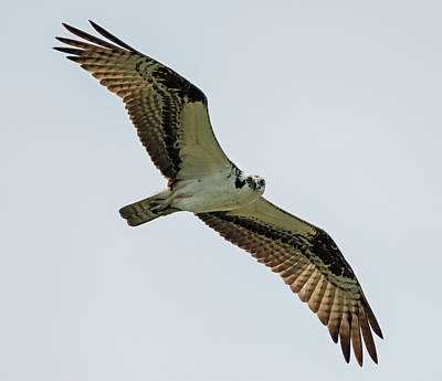 Photograph - Osprey Looking At You by Loree Johnson
