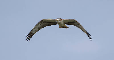 Photograph - Osprey Looking For Food by Peter Walkden