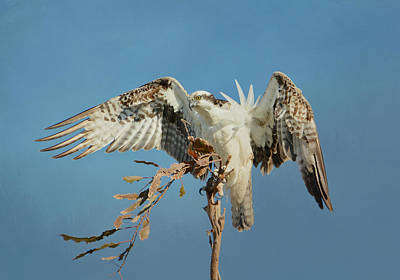Photograph - Osprey Lookout 2 by Fraida Gutovich