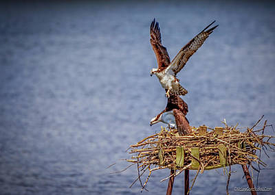 Photograph - Osprey Love by LeeAnn McLaneGoetz McLaneGoetzStudioLLCcom