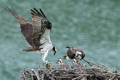 Photograph - Osprey Male Bring Home The Dinner by Dan Friend