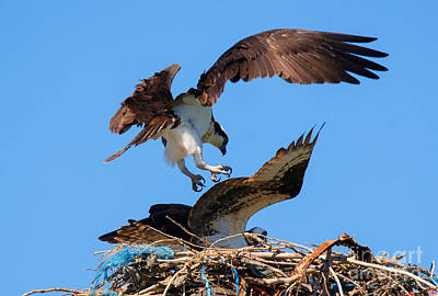 Mating Dance Photograph - Osprey Mating Dance by Mike Dawson