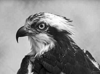 Hawk Digital Art - Osprey Monochrome Portrait by Chris Flees