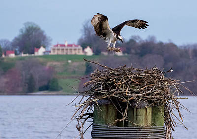 Photograph - Osprey Mount Vernon  by Buddy Scott