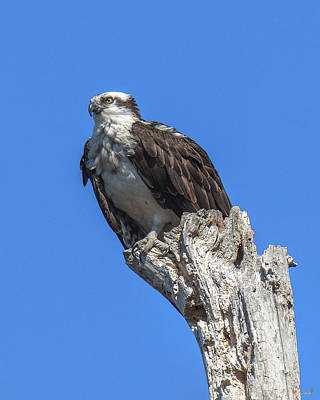 Photograph - Osprey Near Old Nest  Drb0196 by Gerry Gantt