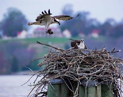 Photograph - Osprey Nest Building by Buddy Scott