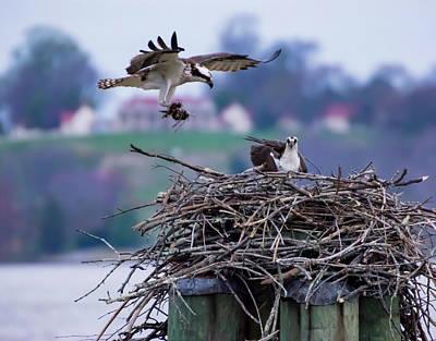 Photograph - Osprey Nest Building by Buddy Scott