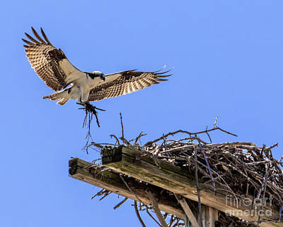 Photograph - Osprey Nest Building by Phil Spitze