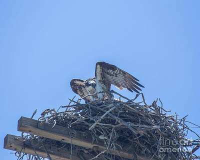 Photograph - Osprey Nest II by Billie-Jo Miller