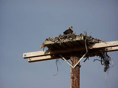Osprey Nest Art Print by Laurie Kidd