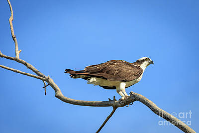 Photograph - Osprey On A Dead Tree by Richard Smith
