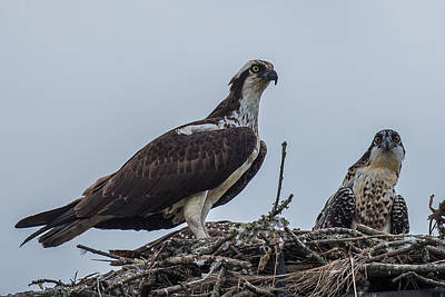 Osprey On A Nest Print by Paul Freidlund
