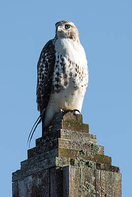 Red Shouldered Hawk Photograph - Red Shoulder Hawk On A Post by Paul Freidlund