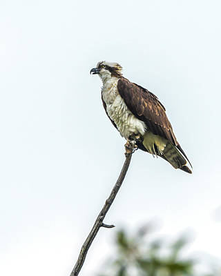 Photograph - Osprey On A Stick by Yeates Photography