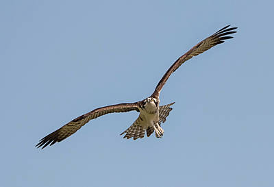 Photograph - Osprey On Approach by Loree Johnson