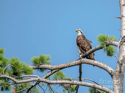Photograph - Osprey On Guard by Cheryl Baxter