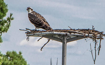 Photograph - Osprey On It's Nest by Venetia Featherstone-Witty