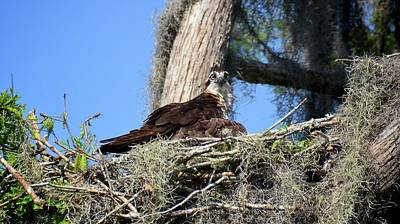 Photograph - Osprey On Nest by Carol Bradley