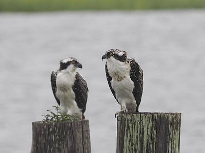 Photograph - Osprey On Nj Shore 2014 by Paul C Ross