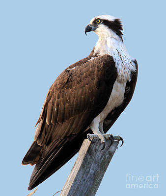 Photograph - Osprey On Perch by Roger Becker
