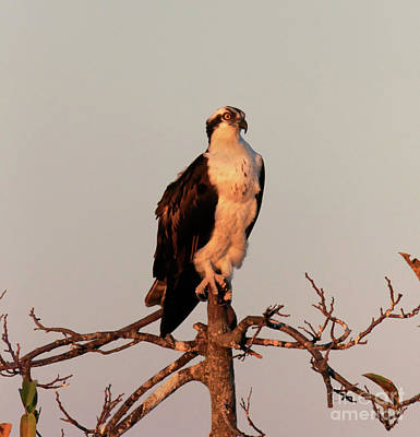 Osprey On The Caloosahatchee River In Florida Art Print by Louise Heusinkveld