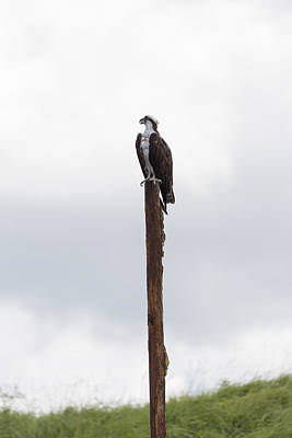 Photograph - Osprey On The Lookout by Christopher L Thomley