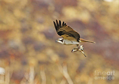 Osprey On The Wing With Fish Art Print by Dennis Hammer