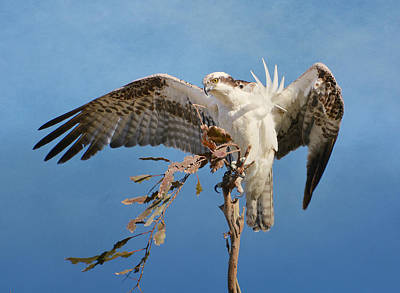 Photograph - Osprey Outlook 6 by Fraida Gutovich