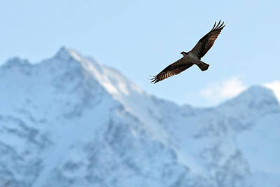 Photograph - Osprey Over Mt Currie Pemberton B.c by Pierre Leclerc Photography