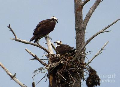 Photograph - Osprey Pair by Jean Wright