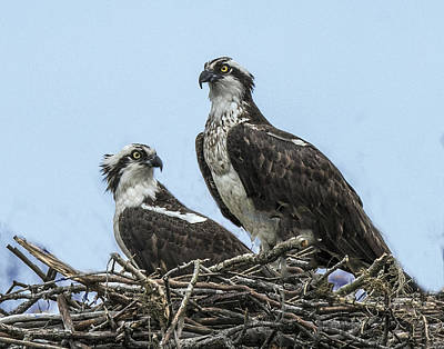 Photograph - Osprey Pair On Nest by William Bitman