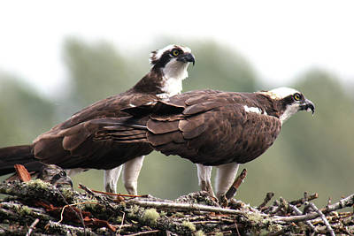 Photograph - Osprey Pair With Chick by Craig Strand