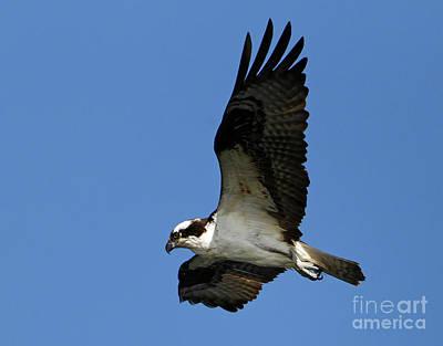 Photograph - Osprey Pandion Haliaetus  by Sue Harper