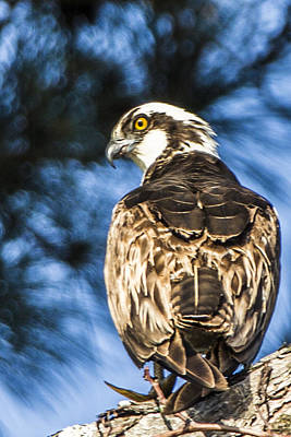 Photograph - Osprey Peeking At You by Paula Porterfield-Izzo