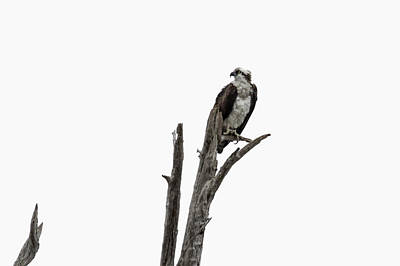 Photograph - Osprey Perched Above The Rogue River by Belinda Greb