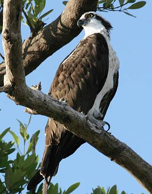 Photograph - Osprey - Perched by Jerry Battle