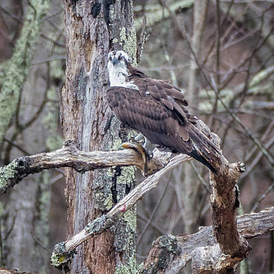 Photograph - Osprey Perched Square by Bill Wakeley