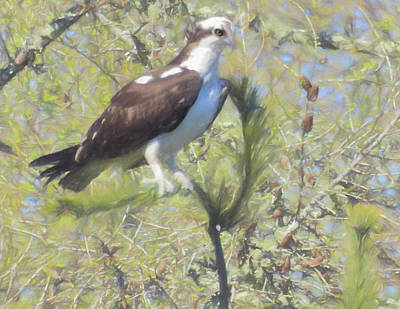 Photograph - Osprey Perching In A Tree. by Rusty R Smith